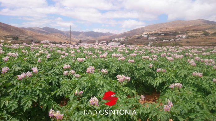 Canarias papa antigua cultivo